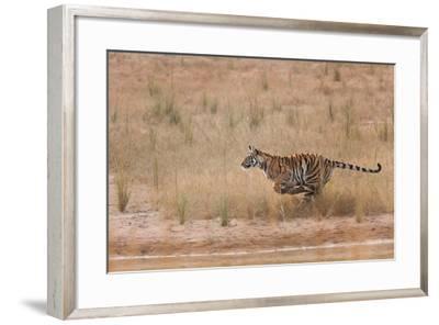A Year-Old Bengal Tiger, Panthera Tigris Tigris, Running Along the Water's Edge-Jak Wonderly-Framed Photographic Print