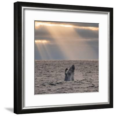 A Humpback Whale, Megaptera Novaeangliae, Breaching under Rays of Sunlight-Jak Wonderly-Framed Photographic Print