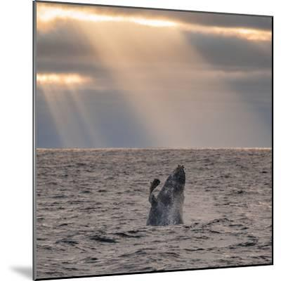 A Humpback Whale, Megaptera Novaeangliae, Breaching under Rays of Sunlight-Jak Wonderly-Mounted Photographic Print