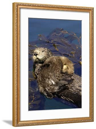 A Sea Otter Pup, Enhydra Lutris, Resting on its Mother's Stomach in a Kelp Bed-Jeff Wildermuth-Framed Photographic Print