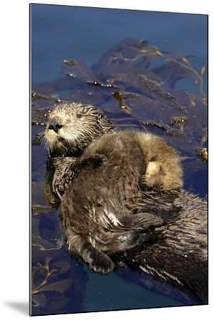 A Sea Otter Pup, Enhydra Lutris, Resting on its Mother's Stomach in a Kelp Bed-Jeff Wildermuth-Mounted Photographic Print