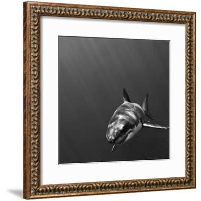Portrait of a Great White Shark, Carcharodon Carcharias, Swimming-Jeff Wildermuth-Framed Photographic Print