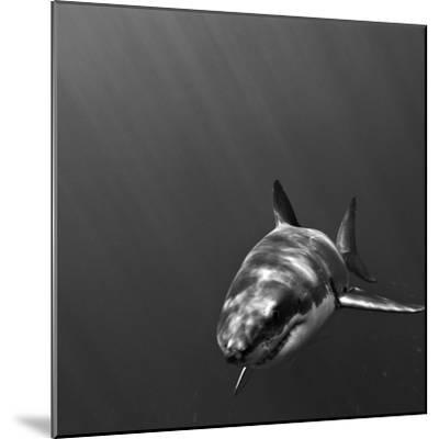 Portrait of a Great White Shark, Carcharodon Carcharias, Swimming-Jeff Wildermuth-Mounted Photographic Print