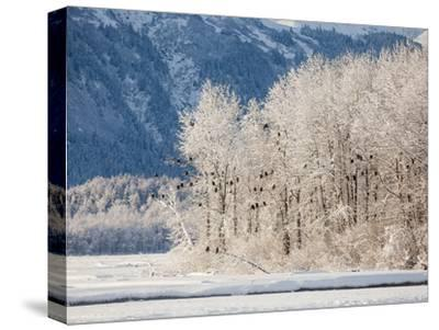 Snowy Trees Populated with Bald Eagles, Haliaeetus Leucocephalus, and Mountains in the Distance-Jak Wonderly-Stretched Canvas Print