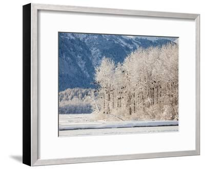 Snowy Trees Populated with Bald Eagles, Haliaeetus Leucocephalus, and Mountains in the Distance-Jak Wonderly-Framed Photographic Print