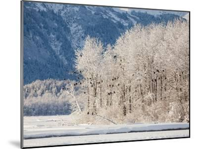 Snowy Trees Populated with Bald Eagles, Haliaeetus Leucocephalus, and Mountains in the Distance-Jak Wonderly-Mounted Photographic Print