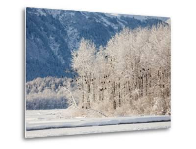 Snowy Trees Populated with Bald Eagles, Haliaeetus Leucocephalus, and Mountains in the Distance-Jak Wonderly-Metal Print