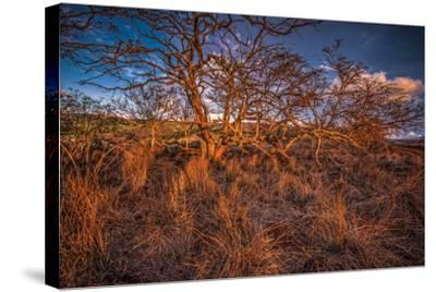 Dormant Kiawe Tree at End of Dry Season, Along Forest Reserve Road to Kamakou-Richard A Cooke III-Stretched Canvas Print