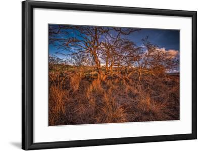 Dormant Kiawe Tree at End of Dry Season, Along Forest Reserve Road to Kamakou-Richard A Cooke III-Framed Photographic Print