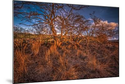 Dormant Kiawe Tree at End of Dry Season, Along Forest Reserve Road to Kamakou-Richard A Cooke III-Mounted Photographic Print