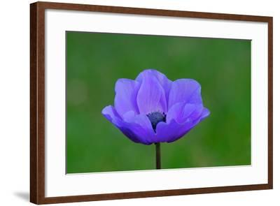 A Blue Anemone Poppy in Bloom-Paul Damien-Framed Photographic Print
