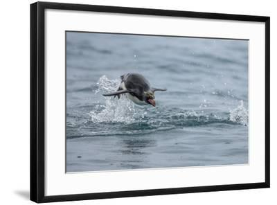 A Macaroni Penguin Porpoises, or Leaps, from the Water-Jay Dickman-Framed Photographic Print