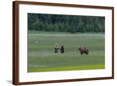 A Family of Grizzly Bears, Ursus Arctos Horribilis, are Alert to Another Bear-Barrett Hedges-Framed Photographic Print