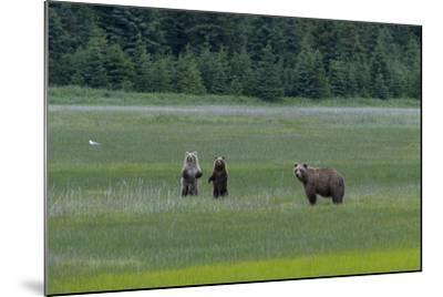 A Family of Grizzly Bears, Ursus Arctos Horribilis, are Alert to Another Bear-Barrett Hedges-Mounted Photographic Print
