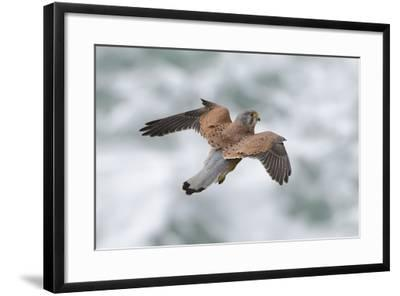 An Eurasian Kestrel, Falco Tinnunculus, Hovering While Hunting Rodents on Coastal Cliffs-Bertie Gregory-Framed Photographic Print
