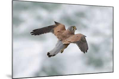 An Eurasian Kestrel, Falco Tinnunculus, Hovering While Hunting Rodents on Coastal Cliffs-Bertie Gregory-Mounted Photographic Print