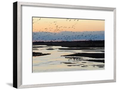 Sandhill Cranes Fly in Migration over White Tailed Deer-Michael Forsberg-Framed Photographic Print