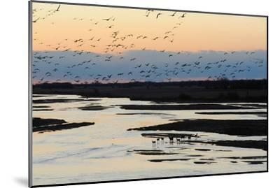 Sandhill Cranes Fly in Migration over White Tailed Deer-Michael Forsberg-Mounted Photographic Print