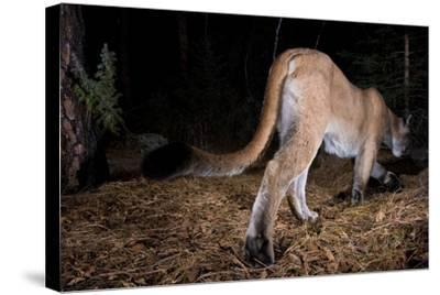 A Cougar Walks Away from a Camera Trap-Michael Forsberg-Stretched Canvas Print
