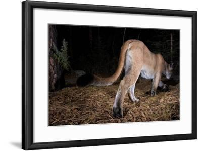A Cougar Walks Away from a Camera Trap-Michael Forsberg-Framed Photographic Print