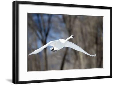 A Tundra Swan, Cygnus Columbianus, Glides Past a Wooded River Bank-Robbie George-Framed Photographic Print