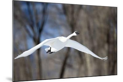 A Tundra Swan, Cygnus Columbianus, Glides Past a Wooded River Bank-Robbie George-Mounted Photographic Print