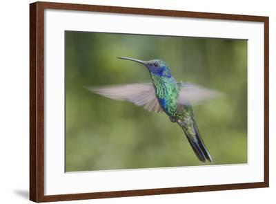 A Sparkling Violet Ear Hummingbird, Colibri Coruscans, in Flight-Bertie Gregory-Framed Photographic Print