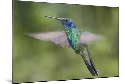 A Sparkling Violet Ear Hummingbird, Colibri Coruscans, in Flight-Bertie Gregory-Mounted Photographic Print