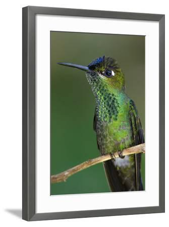 A Violet-Fronted Brilliant Hummingbird, Heliodoxa Leadbeateri, Perched on a Twig-Bertie Gregory-Framed Photographic Print