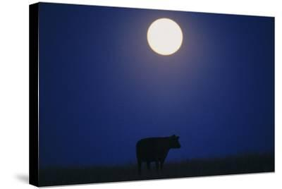 Silhouette of a Cow Against the Night Sky Below the Moon-Michael Forsberg-Stretched Canvas Print