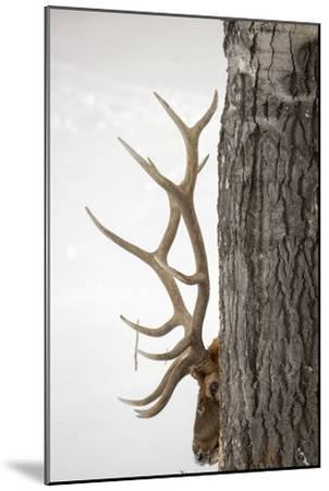 A Bull Elk, Cervus Elaphus, with Six Points on Each Side of His Antlers, Indicating Full Maturity-Robbie George-Mounted Photographic Print