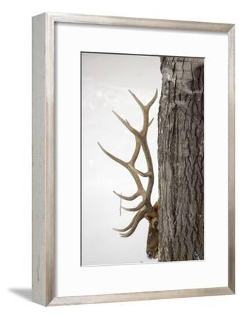 A Bull Elk, Cervus Elaphus, with Six Points on Each Side of His Antlers, Indicating Full Maturity-Robbie George-Framed Photographic Print