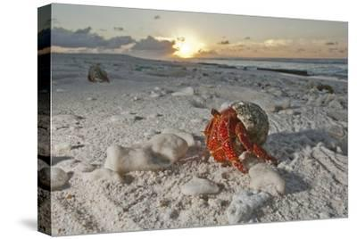 A Hermit Crab Crawls on a Sandy Beach on the Deserted Starbuck Island in the Southern Line Islands-Mauricio Handler-Stretched Canvas Print