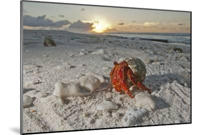 A Hermit Crab Crawls on a Sandy Beach on the Deserted Starbuck Island in the Southern Line Islands-Mauricio Handler-Mounted Photographic Print