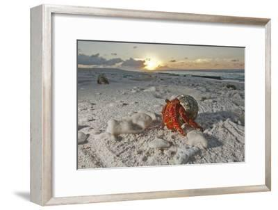 A Hermit Crab Crawls on a Sandy Beach on the Deserted Starbuck Island in the Southern Line Islands-Mauricio Handler-Framed Photographic Print