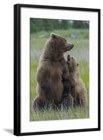 A Grizzly Bear Cub, Ursus Arctos Horribilis, Shows its Teeth to its Mother-Barrett Hedges-Framed Photographic Print
