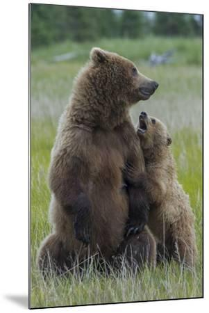 A Grizzly Bear Cub, Ursus Arctos Horribilis, Shows its Teeth to its Mother-Barrett Hedges-Mounted Photographic Print