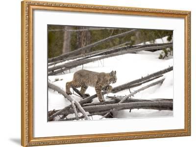 A Bobcat, Lynx Rufus, Walking Through a Snowy Landscape-Robbie George-Framed Photographic Print