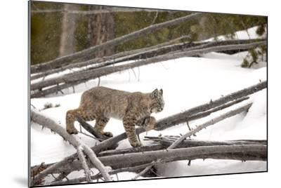 A Bobcat, Lynx Rufus, Walking Through a Snowy Landscape-Robbie George-Mounted Photographic Print