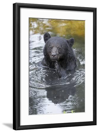 A Black Bear, Ursus Americanus, Scratches Himself While in a Pool of Water-Barrett Hedges-Framed Photographic Print