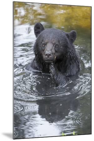 A Black Bear, Ursus Americanus, Scratches Himself While in a Pool of Water-Barrett Hedges-Mounted Photographic Print
