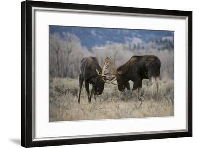 A Pair of Bull Moose, Alces Alces, Lock Antlers in the Sage Brush of Grand Teton National Park-Barrett Hedges-Framed Photographic Print