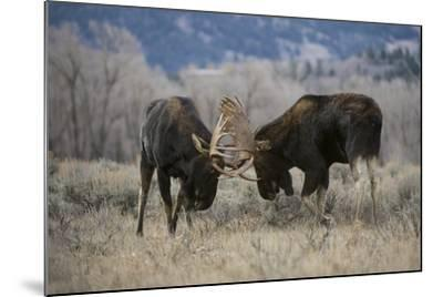 A Pair of Bull Moose, Alces Alces, Lock Antlers in the Sage Brush of Grand Teton National Park-Barrett Hedges-Mounted Photographic Print