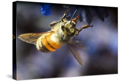 Honeybee on Russian Sage Flower-Keith Ladzinski-Stretched Canvas Print