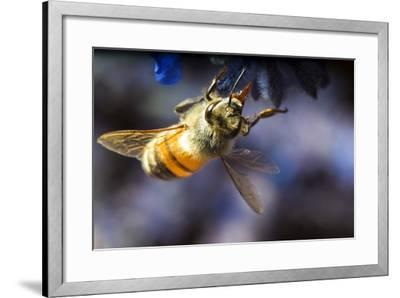 Honeybee on Russian Sage Flower-Keith Ladzinski-Framed Photographic Print