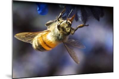 Honeybee on Russian Sage Flower-Keith Ladzinski-Mounted Photographic Print