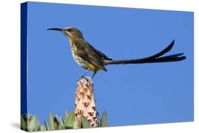 A Cape Sugarbird Perches on a Protea Plant in Cederberg Wilderness Area, South Africa-Keith Ladzinski-Stretched Canvas Print