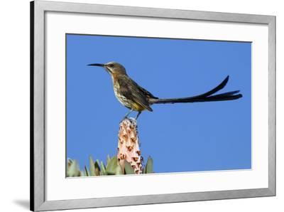 A Cape Sugarbird Perches on a Protea Plant in Cederberg Wilderness Area, South Africa-Keith Ladzinski-Framed Photographic Print