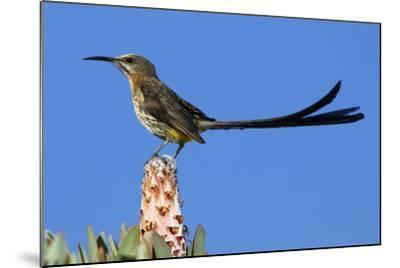 A Cape Sugarbird Perches on a Protea Plant in Cederberg Wilderness Area, South Africa-Keith Ladzinski-Mounted Photographic Print