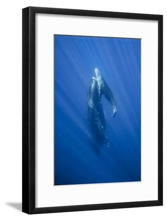 Friendly Mother and Calf Humpback Whale (Megaptera Novaeangliae)-Jonathan Kingston-Framed Photographic Print